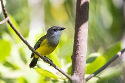Mangrove Golden Whistler - Female (Pachycephala melanura)3