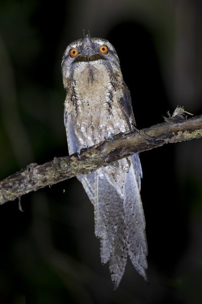 Marbled Frogmouth.3