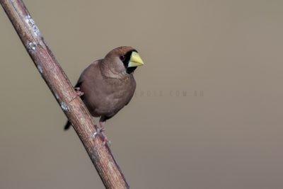 Masked Finch (Poephila personata personata).1