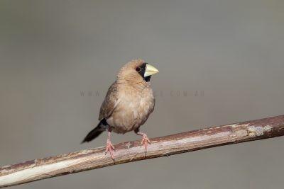 Masked Finch (Poephila personata personata)5