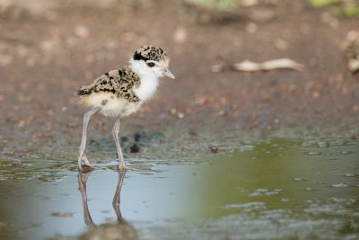 Masked Lapwing - Chick (Vanellus miles)