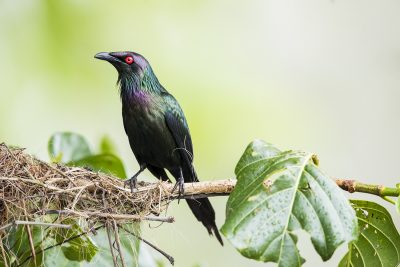 Metallic Starling (Aplonis metallica)1