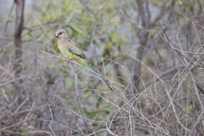 Mulga Parrot - Female (Psephotus varius)
