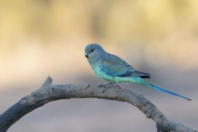 Mulga Parrot - Female (Psephotus varius)1
