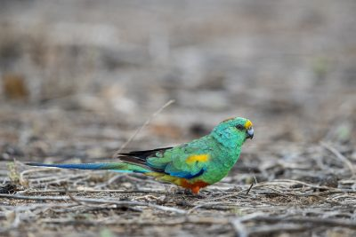 Mulga Parrot - Male on Ground (Psephotus varius).