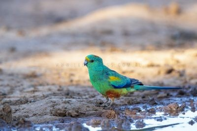 Mulga Parrot - Male on ground (Psephotus varius).1