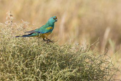 Mulga Parrot - Male (Psephotus varius).