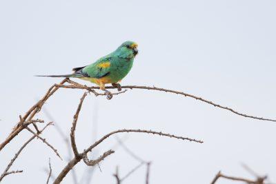 Mulga Parrot - Male (Psephotus varius)