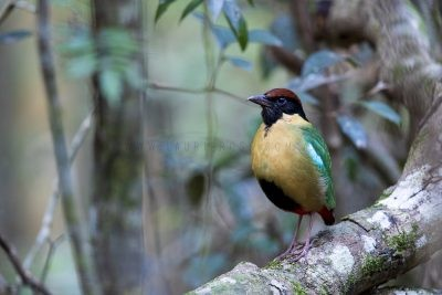 Noisy Pitta.