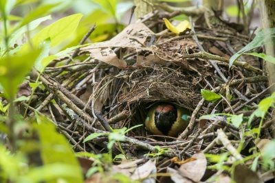 Noisy Pitta - Nest (Pitta versicolor simillima)