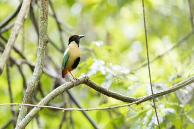 Noisy Pitta (Pitta versicolor intermedia)
