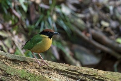 Noisy Pitta (Pitta versicolor intermedia).1