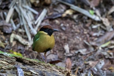 Noisy Pitta (Pitta versicolor intermedia).2