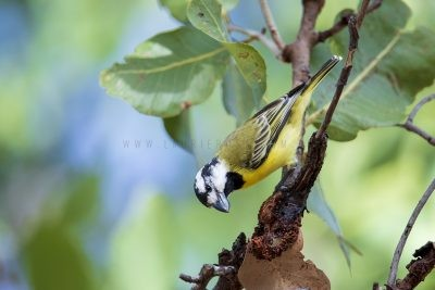 Northern Crested Shrike-tit - Male (Falcunculus frontatus)
