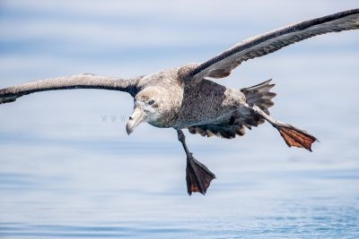 Northern Giant-Petrel - In Flight
