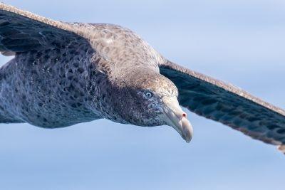 Northern Giant-Petrel - Portrait.