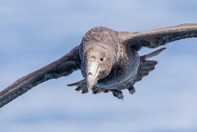 Northern Giant-Petrel - Portrait.1