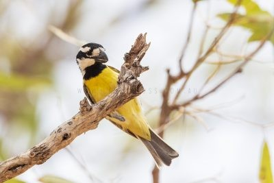Northern Shrike-tit - Male (Falcunculus frontatus whitei)