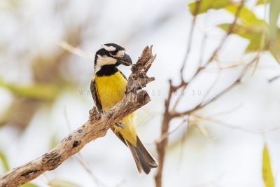 Northern Shrike-tit - Male (Falcunculus frontatus whitei).1