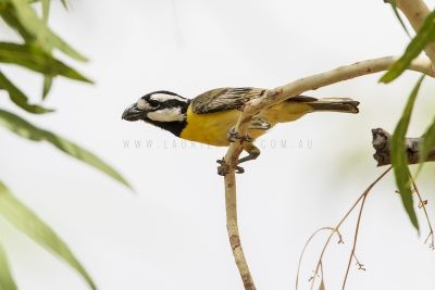 Northern Shrike-tit - Male (Falcunculus frontatus whitei).2