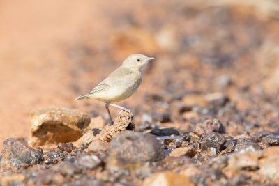 Orange Chat - Chick (Epthianura aurifrons) - Simpson Desert, NT