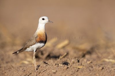 Plovers, Dotterel, Plains-wanderer & Lapwings