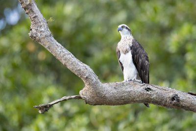 Osprey (Pandion haliaetus cristatus)