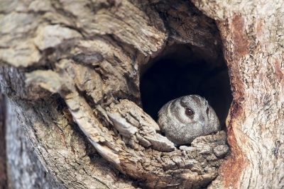 Owlet Nightjar - At Hollow (Aegotheles cristatus cristatus).1