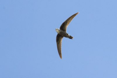Pacific Swift (Apus pacificus pacificus)