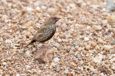 Painted Finch - Female (Emblema pictum) - Tennant Creek,NT