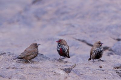 Painted Finch - Trio