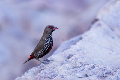 Painted Firetail - Female (Emblema pictum)