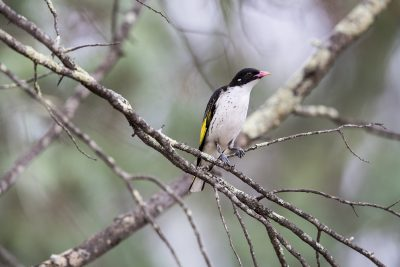Painted Honeyeater (Grantiella picta).