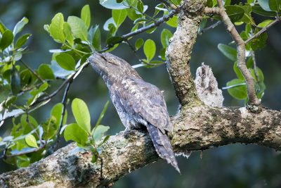 Papuan Frogmouth - With Chick (Podargus papuensis baileyi)