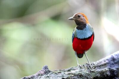 Papuan Pitta (73)