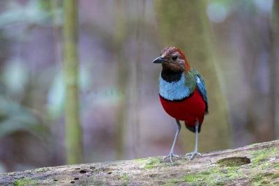 Papuan Pitta (Pitta erythrogaster digglesi)