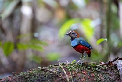 Papuan Pitta (Pitta erythrogaster digglesi).0