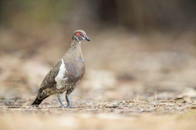 Partridge Pigeon - Jabiru (Geophaps smithii).