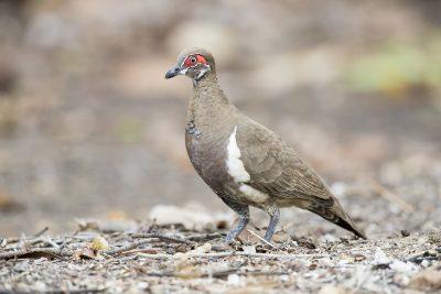 Partridge Pigeon - Jabiru (Geophaps smithii)