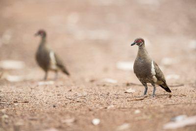 Partridge Pigeon - Pair (Geophaps smithii)