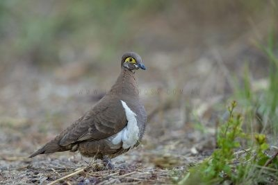 Patridge Pigeon - Yellow-faced (Geophaps smithii blaauwi).1