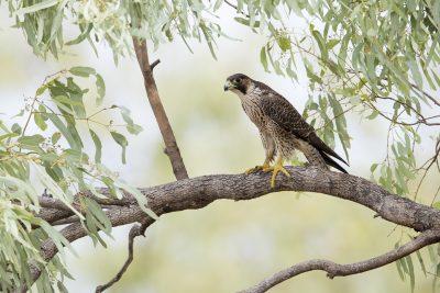 Peregrine Falcon - Perched (Falco peregrinus macropus)