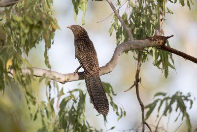 Pheasant Coucal (Non Breeding) (Centropus phasianinus phasianinus) - Casuarina Coastal Reserve, Darwin