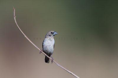 Pictorella Mannikin - Juvenile (Heteromunia pectoralis)