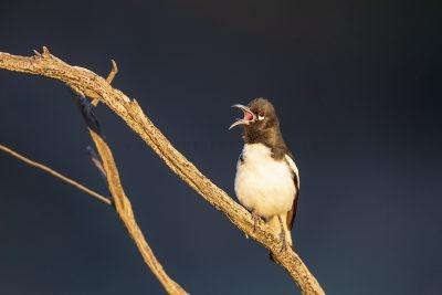 Pied Honeyeater - Male Calling