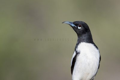 Pied Honeyeater - Male Portrait