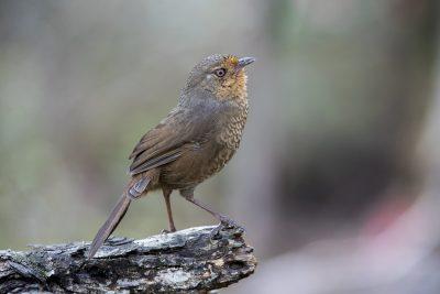 Pilotbird (Pycnoptilus floccosus)