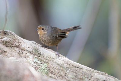 Pilotbird (Pycnoptilus Floccosus Floccosus) - Barren Grounds, NSW