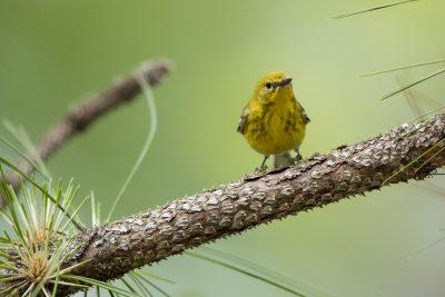 Pine Warbler - Male (Setophaga pinus)