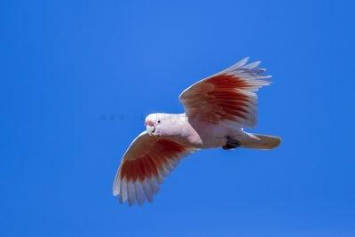 Pink Cockatoo - In Flight (Lophochroa leadbeateri mollis)